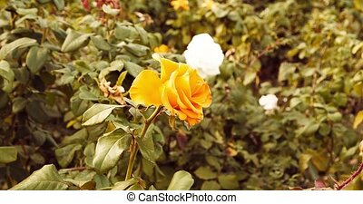 Yellow roses in autumn garden set of planes.