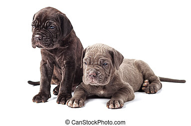 Two beautiful young puppies italian mastiff cane corso (1...