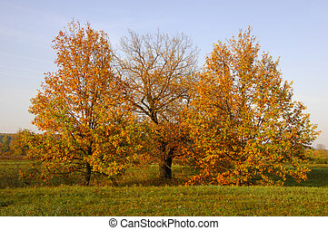 Fall lawn oak stands with gold leaves. Lonely beautiful...