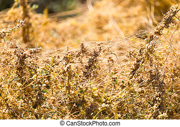 yellow grass on the nature of the parasite