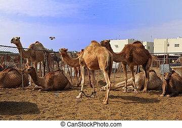 Camels at Doha market - Camels waiting in a pen at the camel...