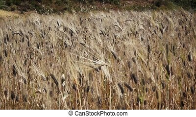 Crops waving on a wind in africa - Crops waving on a wind...