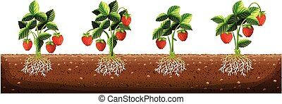 Strawberry plants in the farm illustration