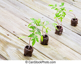 Tomato plants - Young tomato plants growing from peat pods...