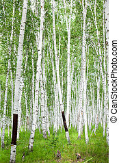 birch - the birch of a forest