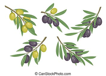 Agriculture olive branch with ripe and raw berries with...
