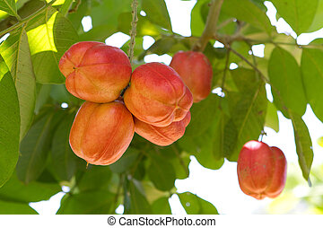 Ackee Fruit On Tree - Unripe ackee fruit growing on this...