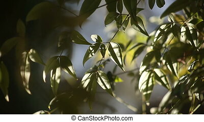 leaves in sun and shade - leaves of a nandina bush in early...