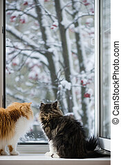 The Persian cats look out of the window on the winter park...