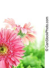 Fresh pink daisy with water drops,Closeup