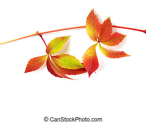 Multicolor autumn branch of grapes leaves (Parthenocissus...