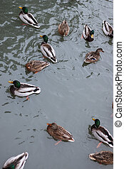 Winter Park duck pond - ducks and drakes swim in cold water...