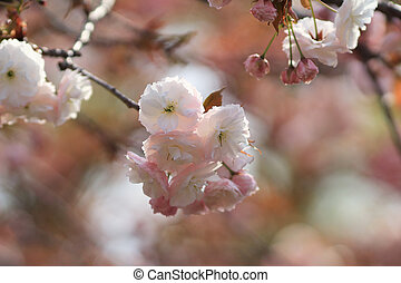 Weeping cherry at osaka - the Weeping cherry at osaka japan...
