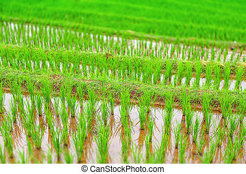 Green rice - View of young rice Grown in the rainy season