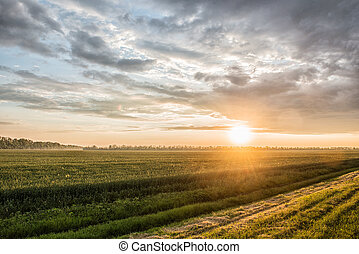 green field of wheat at sunset