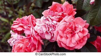 Four roses in garden backlit vintage color filter, colorized...