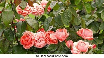 Fresh pink roses on rose bush in garden fluttering on the...