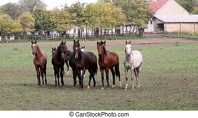herd of  horses on farm agriculture