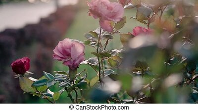 Roses in the park. dying roses in autumn toned footage