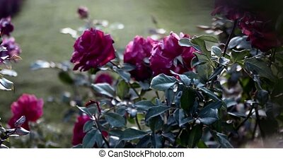 Rosebush in the park. dying roses in autumn toned footage.
