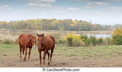 Two brown horses on pasture autumn season