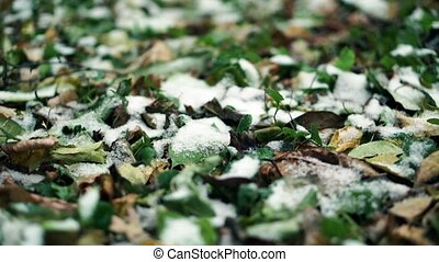 Early snow on the ground. Frosted grass and leaves. Close up...