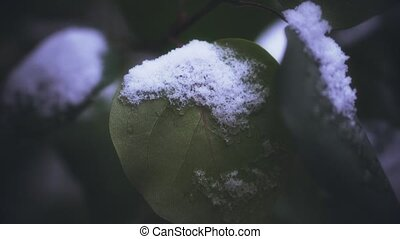First snow on the tree. Frosted leaves. Close up video -...