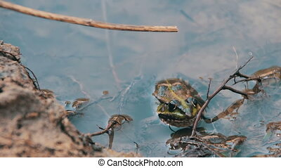 Frog in the River - Green frog sitting in the river.