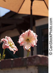 Easter lily flower Lilium longiflorum - Red and white Easter...