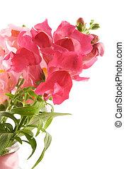 Summer flowers snapdragon on white