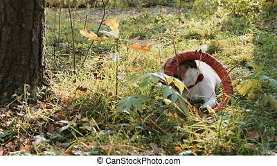 Jack Russell play with orange puller toy in teeth in autumn...