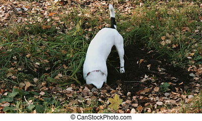 Dog breed Jack Russell Terrier walk in the Park - Dog breed...