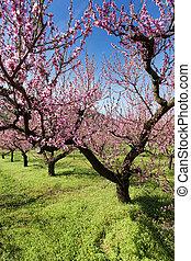 Flowering Peach Trees - Pink flowering peach trees in the...