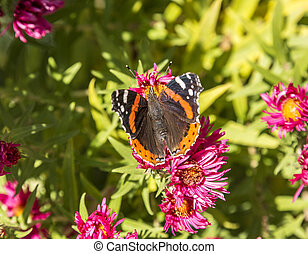 admiral butterfly at the flower - admiral butterfly looks...