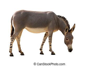 Somali wild donkey (Equus africanus) on white background