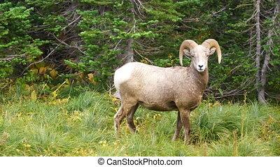 Healthy Male Ram Bighorn Sheep Wild Animal Montana Wildlife...