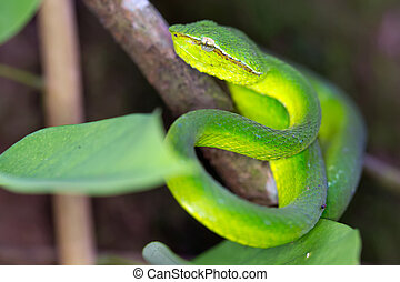 Asian Pit Viper - Tropical asian pit viper Tropidolaemus...