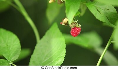 Red raspberry berries on the branch - Red raspberry berries...