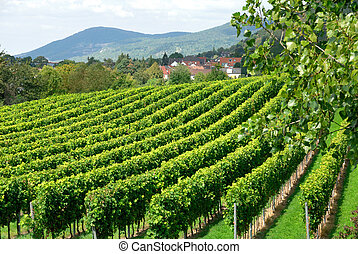Vineyard on the countryside