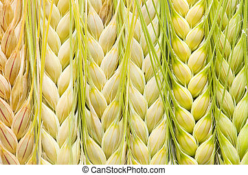 ears of corn - ear of barley