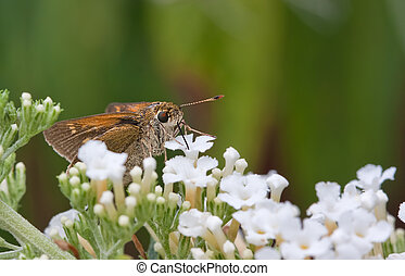 Silver-Spotted Skipper Butterfly Sucking Nectar - A...