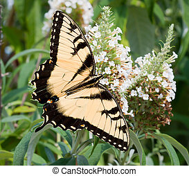 Eastern Tiger Swallowtail Butterfly - An Eastern Tiger...
