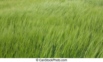 wheat swinging in the wind - agriculture field in spring of...