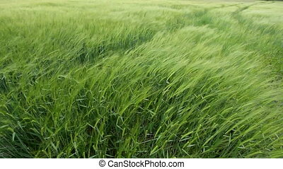 wheat in the wind - agriculture field of wheat grass...