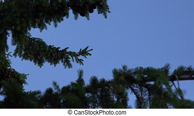 focus change green spruce twig with large cones on blue sky. 4K
