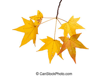 Branch with fall leaves of sweetgum isolated