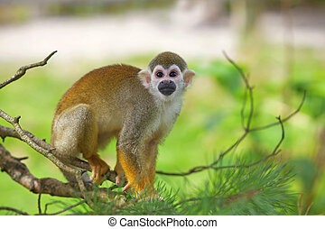 Common squirrel monkey - A common squirrel monkey playing in...