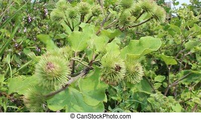 prickles of burdock sway in the wind in the summer