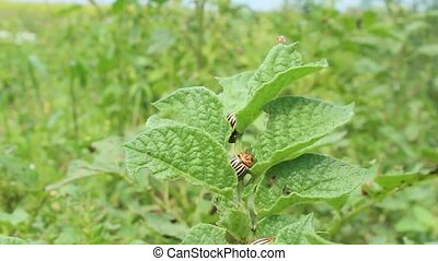 colorado beetles sitting on the leaf of potato