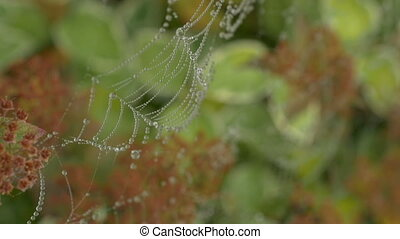 Morning dew on a spider web, early in the morning in the wind